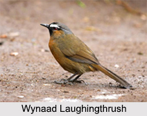 Indian Laughingthrushes, Indian birds
