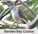 Indian Cuckoos