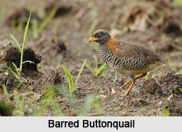 Indian Buttonquails, Indian Birds