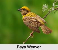 Indian Weavers, Indian Birds
