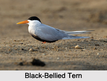 Indian Terns, Indian Birds