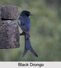 Indian Drongos, Indian Birds