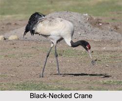 Indian Cranes