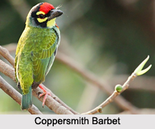 Indian Barbets
