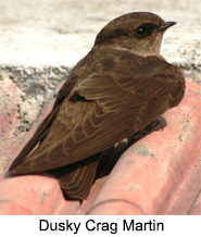 Indian Martins, Indian Birds