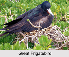 Indian Frigatebirds, Indian Birds