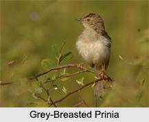 Indian Prinia, Indian Bird