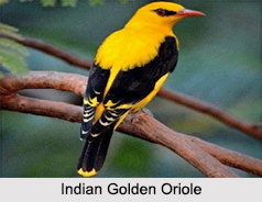Indian Orioles, Indian Birds