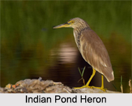 Indian Herons, Indian Birds