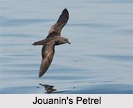 Indian Petrels, Indian Birds