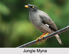 Indian Mynas