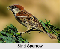Indian Sparrows, Indian Bird