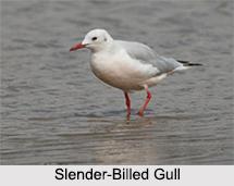 Indian Gulls