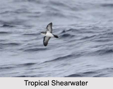 Indian Shearwaters, Indian Birds