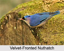 Indian Nuthatches