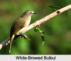Indian Bulbuls