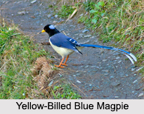 Indian Magpies, Indian Bird