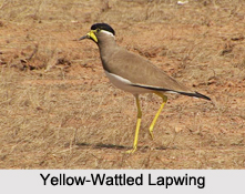 Indian Lapwings