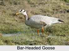 Indian Gooses, Indian Goose