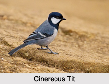 Indian Tits, Indian Birds