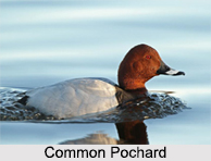 Indian Pochards, Indian Birds