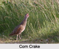Indian Crakes, Indian Birds