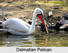 Indian Pelicans, Indian Birds