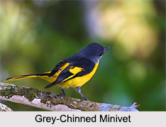 Indian Minivets, Indian Birds