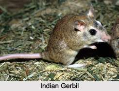 Rodents of India