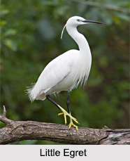 Indian Egrets, Indian Birds