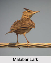 Indian Larks, Indian Birds
