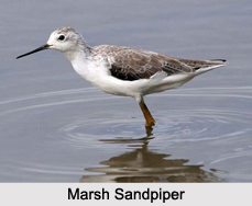 Indian Sandpipers, Indian Birds
