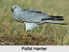 Indian Harriers, Indian Birds