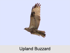 Indian Buzzards, Indian Birds