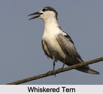 Indian Terns, Indian Birds