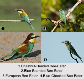 Indian Bee-Eaters, Indian Birds