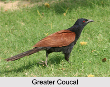 Indian Coucals