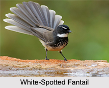 Indian Fantails