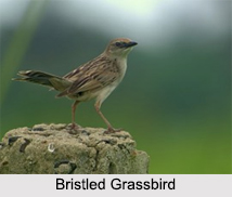 Indian Grassbirds