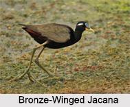 Indian Jacana