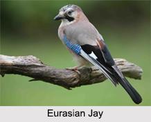 Indian Jays, Indian Bird
