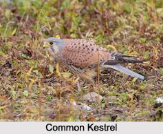 Indian Kestrels, Indian Bird