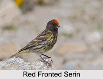 Indian Serins, Indian Birds