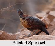 Indian Spurfowls