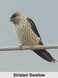 Indian Swallow