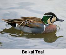Indian Teals, Indian Bird