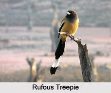Indian Treepies