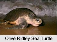 Indian Sea Turtles, Marine Species