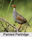 Indian Partridges