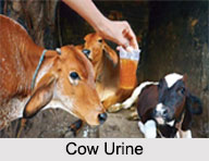 Cow Urine, Panchagavya